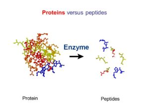 Let's have a look on differences between peptides and proteins to get complete understanding about peptides.